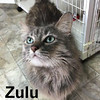 Zulu was adopted from the Cat House and Adoption Center on Saturday, July 29, 2017.<br /> <br /> Zulu<br /> <br /> I kneed purrson.<br /> <br /> This lovable lady is looking for a special person that wants an affection cat that loves to be groomed and is eager to please. Sweetness through and through.