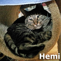 Hemi was adopted from the Cat House and Adoption Center on Wednesday, February 22, 2017.<br /> <br /> Hemi<br /> <br /> A strong motor.<br /> <br /> Hemi wants to find someone to bond with again and it will take a quiet home with a purrson of his own. He is back after being adopted for four years and wants to be wanted again.