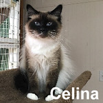 Celina was adopted from the Cat House and Adoption Center on Tuesday, October 19, 2016.<br /> <br /> Celina<br /> <br /> Captivating.<br /> <br /> Celina is beautiful and will capture your heart. Don't be fooled by this beauty, she is wise beyond her age, very intelligent and knows exactly what she wants and how to get it. Celina is just adorable.