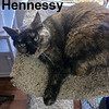 Hennessy was adopted from the Cat House and Adoption Center on Saturday, July 15, 2017.<br /> <br /> Hennessy<br /> <br /> Pretty girl.<br /> <br /> The Torti can come out in a house full of cats, however give this girl a home of her own and she will invest herself in pleasing you. Hennessy is a beautiful girl.