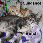 Butch and Sundance were adopted from their foster home at Steamboat Animal Hospital on Friday, October 14, 2016.<br /> <br /> Butch and Sundance<br /> <br /> Clever and Charming Duo!<br /> <br /> These two brothers came to us from rural Mason County where they were running wild as babies. It did not take any time to convince the boys that living a life on the run was not nearly as cool as the love and luxury of their foster home. Bonded and loving, Butch and Sundance are ready to turn your home into a scene from the Wild West. Are you ready to have them join your family?