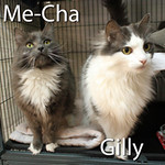 Me-Cha and Gilly (mother and daughter) were adopted from the Cat House and Adoption Center on Saturday, November 5, 2016.<br /> <br /> Gilly and Me-Cha<br /> <br /> Mother and Daughter.<br /> <br /> These two beautiful girls are just as beautiful inside as they are on the outside. These two ladies would flourish in an adult home without competition and being loved equally. Me-Cha and Gilly do everything together or one after another and are as pleasant to each other as they are to you.