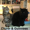 Clover and Guinness were adopted from the Cat House and Adoption Center on Saturday, April 15, 2017.<br /> <br /> Clover and Guinness<br /> <br /> The luck of the Irish<br /> <br /> And hoping for a home that lasts a lifetime. Abandoned and unable to keep up the rent, the landlady turned them out. These two magnificent felines are so adorable and bonded. Clovers eyes will melt your heart and Guinness will impress you with his size.