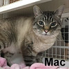 Mac was adopted from the Cat House and Adoption Center on Wednesday, July 26, 2017.<br /> <br /> Mac<br /> <br /> Big Mac.<br /> <br /> Mac has blessed us with his presence and is ready to reign in his own castle. This long, tall, gorgeous boy is sweet and loving and yet can let you know if you are not pleasing him. He is smart and intelligent and knows how to win your heart.