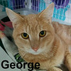 George was adopted from the Cat House and Adoption Center on Saturday, March 18, 2017.<br /> <br /> George<br /> <br /> Gentle George.<br /> <br /> Sweet and young, this boy will melt your heart. George is hoping that his new home will have a friend for him to bond and play with and a lap to warm.