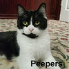 Peepers was adopted from her foster home at Steamboat Animal Hospital on Wednesday, April 26, 2017.<br /> <br /> Peepers<br /> <br /> Peepers is a keeper!<br /> <br /> She is a very content and happy cat who wants nothing more than to snuggle in a lap. She would love to be the sole focus of your attention. If you're looking for a mellow, silky soft kitty to share your quiet time with, look no further!