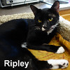 Ripley was adopted from the Cat House and Adoption Center on Monday, November 28, 2016.<br /> <br /> Ripley<br /> <br /> Unbelievable!<br /> <br /> With the past behind him, this fine fellow is anxious to be loved, carry on conversations and be in charge of his own human. Come in and meet Ripley for yourself and believe it or not!