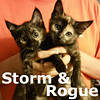 Rogue and Storm (sisters) were adopted with Flash from the Cat House and Adoption Center on Saturday, October 1, 2016.<br /> <br /> Storm & Rogue<br /> <br /> Superpowers unite!<br /> <br /> Friendly, fast and furiously loyal; these are a pair of whirlwinds that will be sure to charm you and protect you at the same time. They promise to use their powers for good unless there are some toys that need straightening out