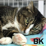 BK was adopted from the Cat House and Adoption Center on Saturday, February 18, 2017.<br /> <br /> BK<br /> <br /> Beautiful kitty!<br /> <br /> This very handsome guy is awaiting his private indoor spa to be lavished with love. He is quiet and waits to be noticed and is always ready for all the attention he can get. He will capture your heart.