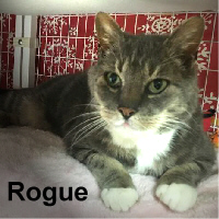 """Rogue was adopted (with the """"W"""" Family) from the Cat House and Adoption Center on Tuesday, March 21, 2017.<br /> <br /> Rogue<br /> <br /> Rogue One.<br /> <br /> Rogue is looking for a new hope to fill his life. He has won the battle and is ready to win your heart. Rogue would like nothing more than to lay on your lap and soak up your love."""