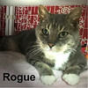 "Rogue was adopted (with the ""W"" Family) from the Cat House and Adoption Center on Tuesday, March 21, 2017.<br /> <br /> Rogue<br /> <br /> Rogue One.<br /> <br /> Rogue is looking for a new hope to fill his life. He has won the battle and is ready to win your heart. Rogue would like nothing more than to lay on your lap and soak up your love."