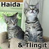 Haida and Tlingit (sister and brother) were adopted from their foster home at Steamboat Animal Hospital on Wednesday, August 5, 2017.<br /> <br /> Haida and Tlingit<br /> <br /> Ready for adventure.<br /> <br /> What wonderful destiny awaits this charming sister and brother pair of adorableness? They love to play and snuggle together, but there is room for you too.