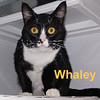 Maury and Whaley were adopted from the Cat House on Saturday, January 19, 2019.  <br /> <br /> Whaley<br /> <br /> Handsome tough guy.<br /> <br /> He is not near as tough as he would like to think he is. He has come to love his life indoors and appreciates not being bullied. He's dressed for success and ready to meet you.