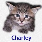 Charley adopted 1/17/05.  Charley is a cute little tabby with all the energy and spirit his little body can hold.