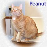 Peanut adopted 7/20/05.  Peanut is declawed on his front feet and needs an indoor only home.  He is sweet, loving and playful.