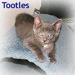 Tootles adopted 7/26/05.  Tootles is a sweet curious kitten with classic tabby markings.  He looks (and talks) like an Oriental shorthair.