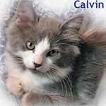Calvin adopted from PetsMart during October 2005. Calvin is a long haired blue and white male. Isn't he gorgeous?
