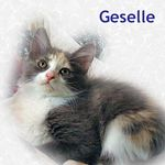 Geselle adopted from PetsMart 10/18/05.  Geselle is a long haired dilute calico female.