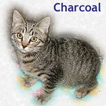 Charcoal adopted from PetsMart 10/28/05.  This darling little tabby male is Charcoal. He is patiently waiting for a loving home.