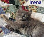 Irena adopted from PetsMart 10/15/05.  Irena is a long haired dilute tortoiseshell female.