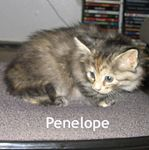 Penelope is a long haired tortie adopted by her foster family on 10/13/05.