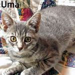 Uma adopted from PetsMart 10/17/05.  This 14 week old blue tabby is Uma. She is very friendly and purrs on contact.