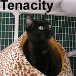 Tenacity adopted from CHAC on 1/20/07. This young, small cat is a vessel of fortitude.  Tenacity is only about 8 months old and has already survived neglect, abandonment, and freezing temperatures.  Our little determined darling will bring your home to life with her charm and charisma.