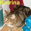 Katrina adopted from CHAC on 1/20/07. Katrina is a young Pixie Bob cross with a gentle temperament.    She came to us cold, wet, and hungry during our recent Pacific NW storm.  Katrina is too proud to ask for affection but when it's freely given she lavishes in the love, with lots of purring and kneading. Katrina isn't interested in sharing you with other cats.  She wants to be your one and only.