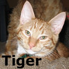 Tiger was adopted from Steamboat Animal Hospital on Tuesday August 11, 2009.