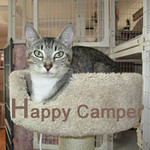 Happy Camper was adopted from the Cat House and Adoption Center on Saturday, October 31, 2009.<br /> <br /> Lions and tigers and bears, Oh my! Happy's best day camping was being<br /> found safe and sound. When she was abandoned at the campground, many<br /> important essentials were missing. Happy is social and needs a home<br /> for safety, a companion to interact with and love.
