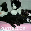 Purrfection and Mosey were adopted together from the Cat House and Adoption Center on Tuesday, November 3, 2009.<br /> <br /> Purrfection<br /> Looking and waiting for the perfect family to join, Purrfection managed to settle into a group that looked very similar to her and had the same sweet, loving and charming personality. This special little girl is looking for the ideal family to choose her to complete the perfect family.