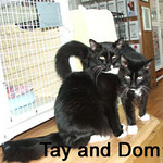 "Dom and Tay were adopted from the Cat House and Adoption Center on Monday, November 2, 2009.<br /> <br /> ""Dom"" Purrington and ""Tay""berry - Dressed for success … Black Tie Attire<br /> <br /> Sporting their Tux and Tail sports ware, these two easy-going brothers will certainly be the talk about town.  Stop by and meet these fun-loving fellows and they can give you a tour about the Cat House and Adoption Center to show you what purrfect gentleman they truly are."