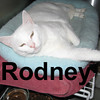 """Rodney was adopted from the Cat House and Adoption Center on Sunday, November 29, 2009.<br /> <br /> A Real Comfort Cat. Rodney Rooster lives by the motto, """"Better to love to the point of folly than not to love at all.""""<br /> <br /> White cats are susceptible to skin cancer so Rodney needs an indoor only home."""