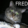 Fred was adopted from the Cat House and Adoption Center on Saturday, December 5, 2009.<br /> <br /> No Frills Fred<br /> <br /> Getting used to indoor living was an adjustment for Fred but, it<br /> didn't take him long to realize just how enjoyable life can be.<br /> He will spend hours having you fuss over him while he just kneads away<br /> showing you his contentment.