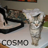 Cosmo was adopted from Hawks Prairie Veterinary Hospital on Thursday, November 19, 2009. Cosmo is full of boundless energy and loves to explore. With all of his kitten pep and bounce, you'll want to kitten-proof your home to keep him safe. He is goofy and adorable, and will be a happy addition to your fun loving household.