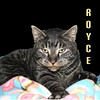 Royce was adopted from the Cat House and Adoption Center on Tuesday, April 13, 2010.<br /> <br /> Royce<br /> <br /> Rolls Royce<br /> <br /> Rolling in at the head of the fleet without any hesitation that he is large, in charge and in a class of his own. This is the fully-loaded model.