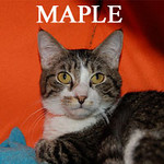 Maple was adopted from the Cat House and Adoption Center on Saturday, April 24, 2010.<br /> <br /> Maple<br /> <br /> Feline Jock <br /> <br /> A born athlete and team player, Maple is always ready to join in the game. He is multi-talented and seems to excel in the high jump, but he does equally well at putt putt golf.