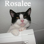 Rosalee (GMR #15) was adopted from the Cat House and Adoption Center on Wednesday, April 6, 2010.<br /> <br /> Rosalee<br /> <br /> Everything is exciting and new.<br /> <br /> The whole world is new and very exciting for this young lady, and she doesn't seem to want to waste any time seeing everything that she can. Rosalee is anxious to have a new home of her own.