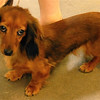 Long Haired Dachsund...Looka those droppy eyes?