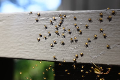 Baby yellow spiders with black butts