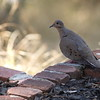 Afternoon dove