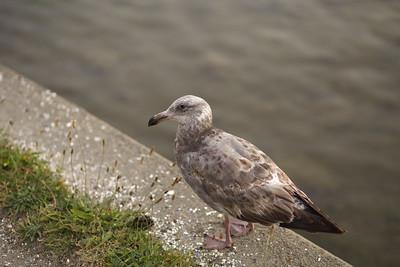 Seagull at Lake Merritt