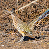 N01-266-Greater Roadrunner-IRV-041915 JPG-IRV-120015-D8670