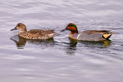 A01-024-Green-winged-Teal-BC-013115