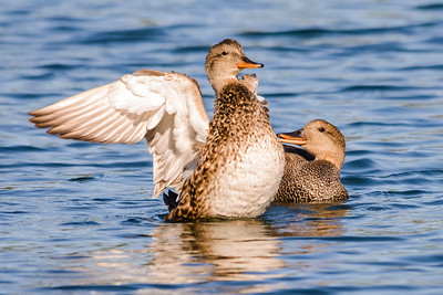 A01-020-Gadwall-Underwing-P-HB-050215