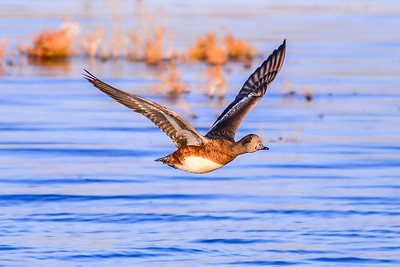 A01-021-American-Wigeon-IF-BC-010315
