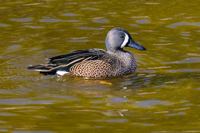 A01-022-Blue-winged Teal-AlisoV-110015-D6502