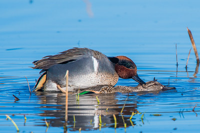 A01-024-Green-winged-Teal-P-IRV-122816-D7046