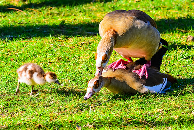Egyptian Goose mating