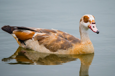 A02-016-Egyptian-Goose-IRV-081417-D9700